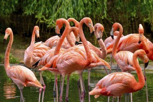 Group of red flamingos
