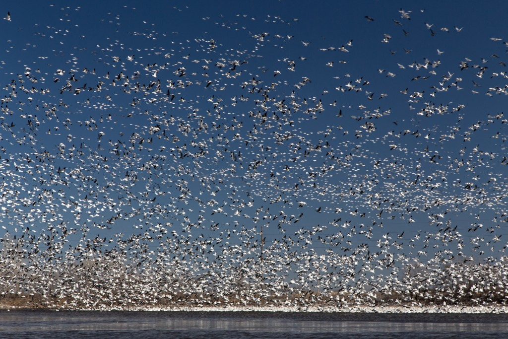 The sky is full of migrating Snow Geese as they pass through the Central Flightway in Nebraska, USA.