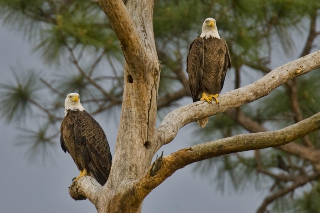 Pair of bald eagles named Ozzie and Harriet doing what so many couples do: retire in Florida.