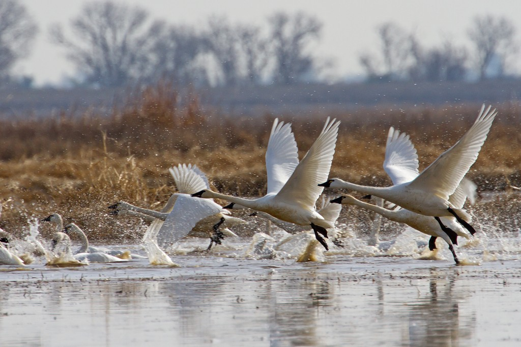 Tundra swans running on the water as they take flight over a Northern California marsh.