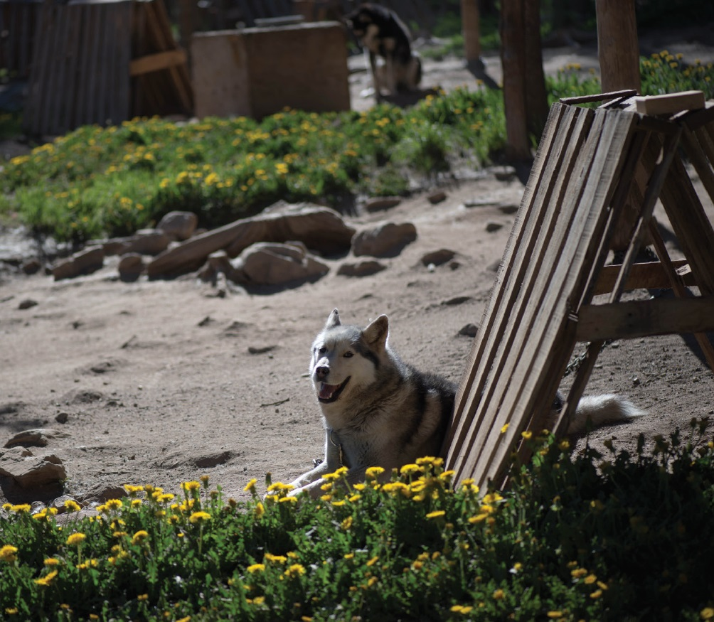 Sled Dogs1