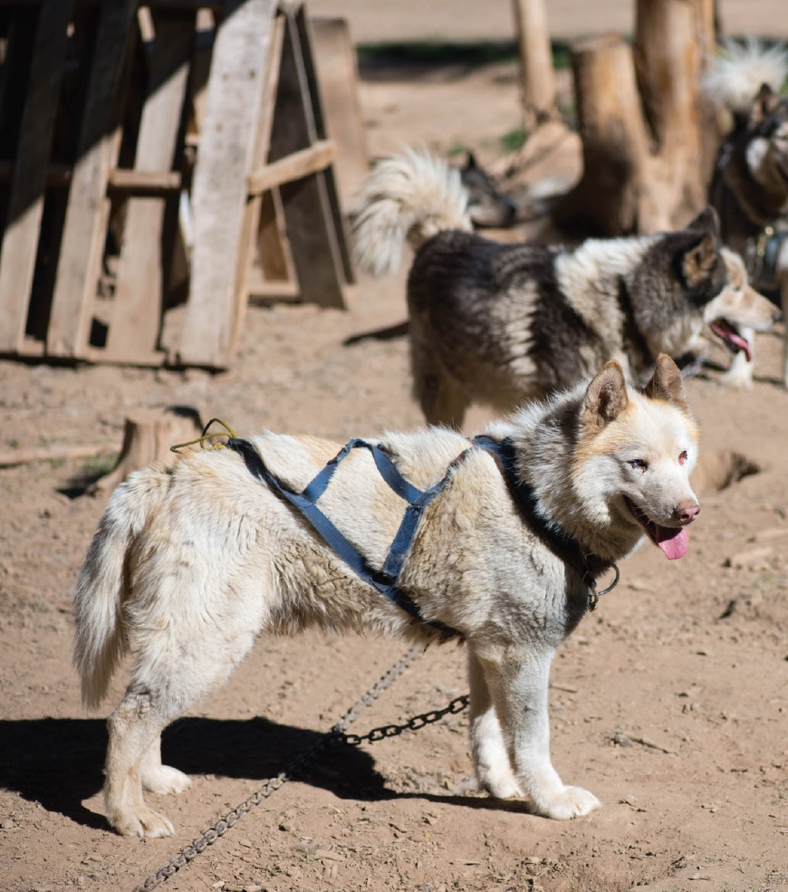 Sled Dogs2